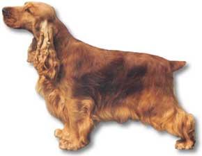 Profil du cocker